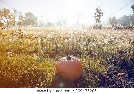 Pumpking On Green Grass In Morning Time