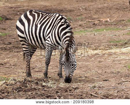 Burchells zebra feeding