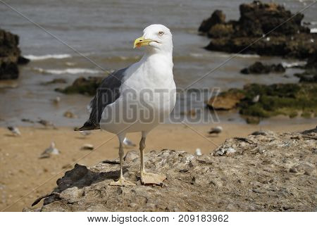 Seagull closeup in the harbor of Morocco