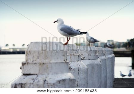 Seagulls on wooden white poles at harbor