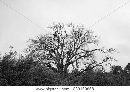 Two Black Birds In Dead Tree