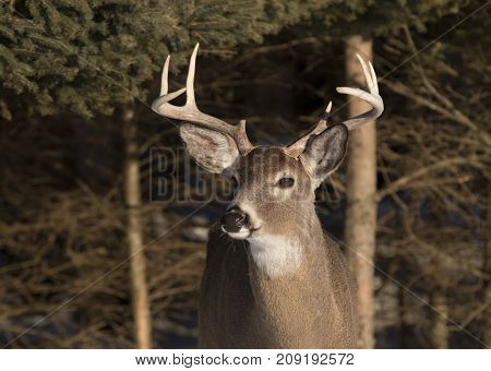 White-tailed deer buck in the early morning light