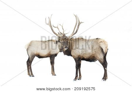 Two Elk bulls standing in the winter snow