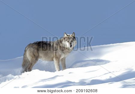 Silver coloured black wolf walking in the winter snow