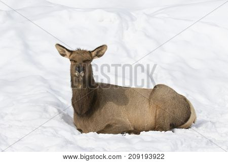 Red deer sitting in the winter snow