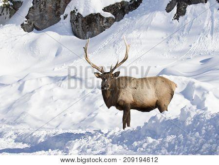Bull Elk standing in the winter snow