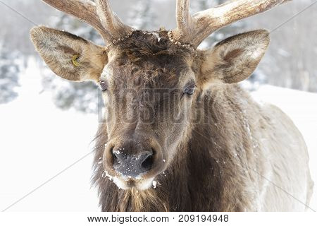 Closeup of a Bull Elk standing in the winter snow