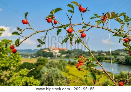 Branches with red rose wild flowers with beautiful blurred landscape in the background.