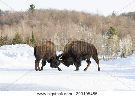 Buffalo fighting each other on a winter road