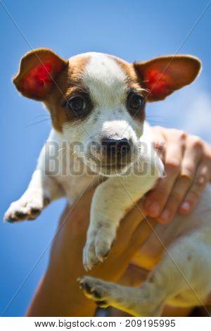 portrait of a beautiful jack russel terrier in a blue sky