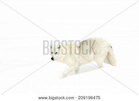 Arctic wolf standing in the winter snow