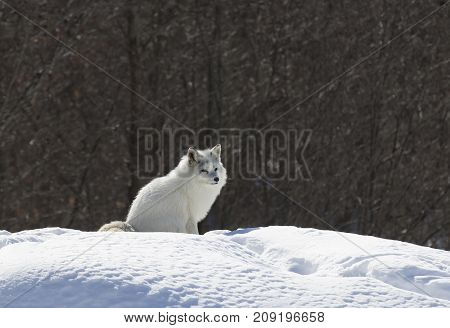 Arctic fox standing in the snow in winter