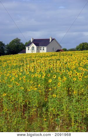 House In Field Of Sunflowers