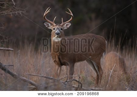 White-tailed deer buck in rut in the autumn in the forest