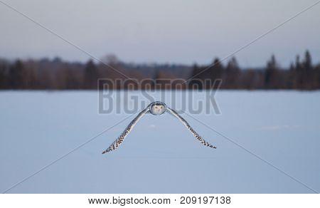 Snowy owl (Bubo scandiacus) flies over a snowy field