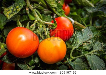 Fresh red ripe tomatoes growing in a home garden
