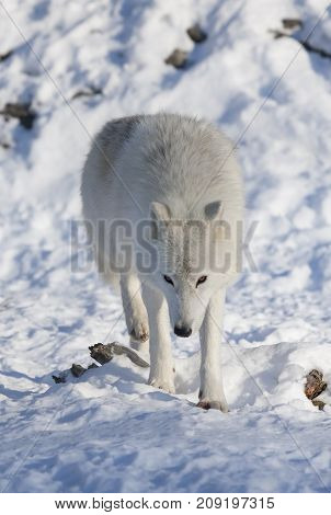 Arctic wolf walking in the winter snow