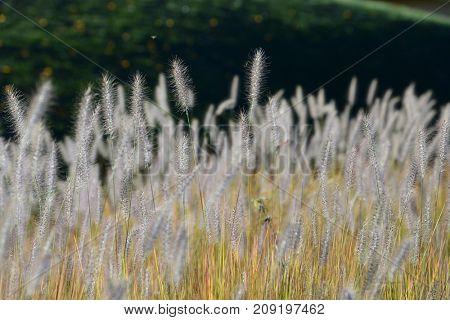 Pennisetum green grass