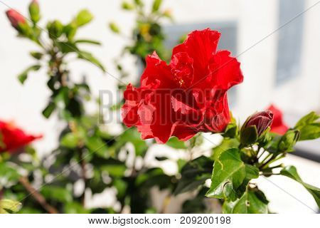 Double red hibiscus plant blossom in outdoor garden.