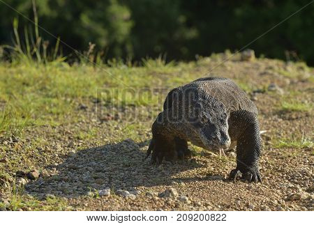 Komodo Dragon ( Varanus Komodoensis ) Is The Biggest Living Lizard In The World.  On Island Rinca. I