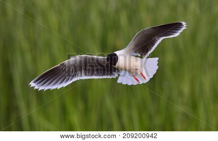 Black-headed Gull (larus Ridibundus) In Flight On The Green Grass Background. Backlight