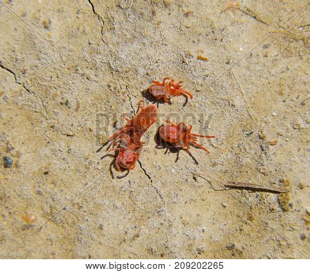 Arthropod Mites On The Ground. Close Up Macro Red Velvet Mite Or