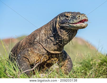 The Komodo Dragon ( Varanus Komodoensis ) Raised The Head With Open Mouth. It Is The Biggest Living