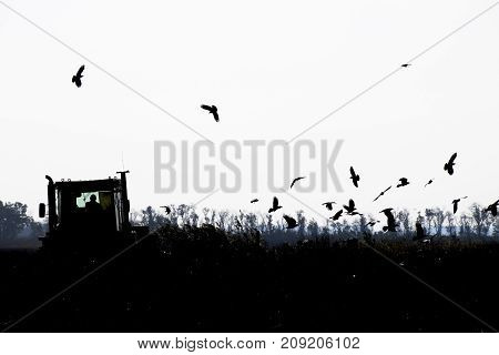 Tractor Plowing A Field And Crows Flying Around Him In Search Of