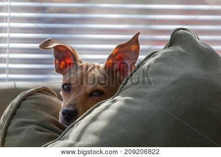 A sleepy eyed puppy with perky ears peeks over a pillow.