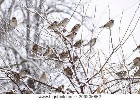 Sparrow On Branches Of Bushes. Winter Weekdays For Sparrows. Com