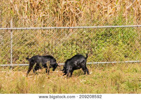 Black Goats Feeding Next To A Fence