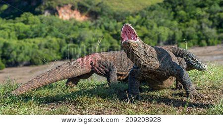The Komodo Dragon  Varanus Komodoensis  Raised The Head With Open Mouth. It Is The Biggest Living Li