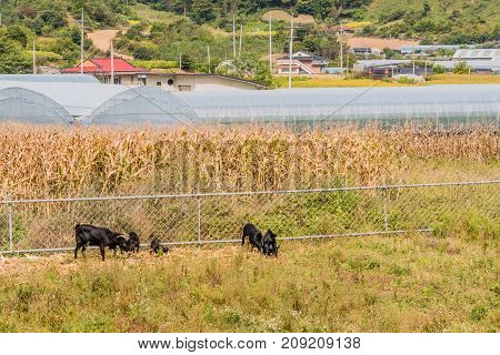 Family Of Black Goats Feeding Next To A Fence