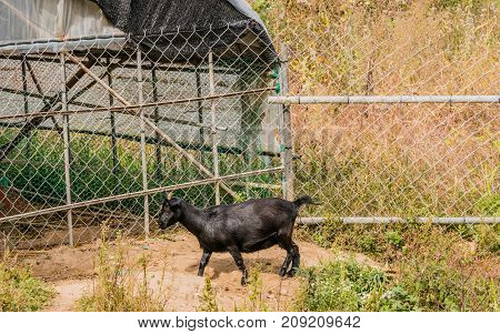 Single Black Goat With Short Horns