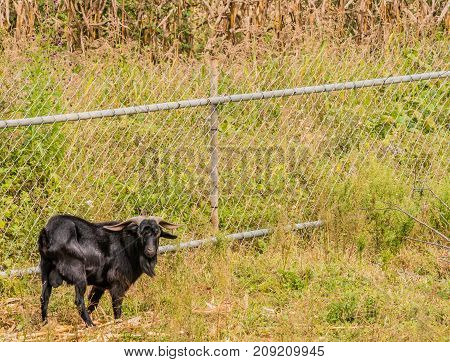Large Black Goat With Long Horns