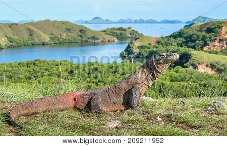 Portrait Of The Komodo Dragon ( Varanus Komodoensis ) Is The Big