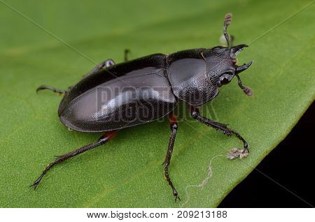 macro image of a female stage beetle