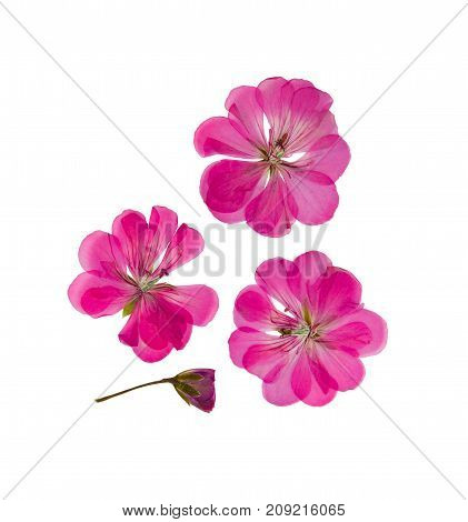 Pressed and dried delicate pink lilac flowers and petals of geranium (pelargonium). Isolated on white background. For use in scrapbooking pressed floristry or herbarium.