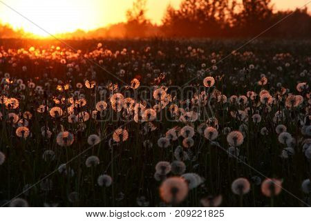 Evening. In the field many warm and fuzzy dandelions. Behind field edge the sun falls. All is painted in red tone.