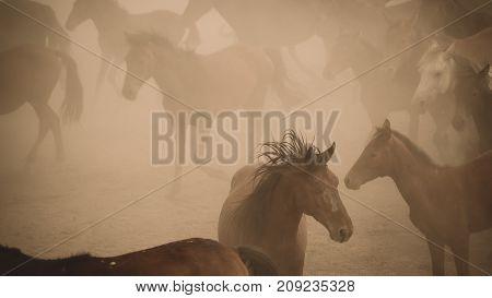 Turkey August 2017: Horses run gallop in dust