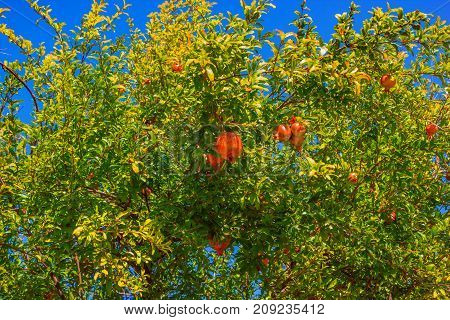Pomegranate tree with ripe fruit on the branches on the background of blue sky