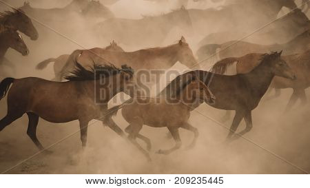 Turkey August 2017: Horses run gallop in dust