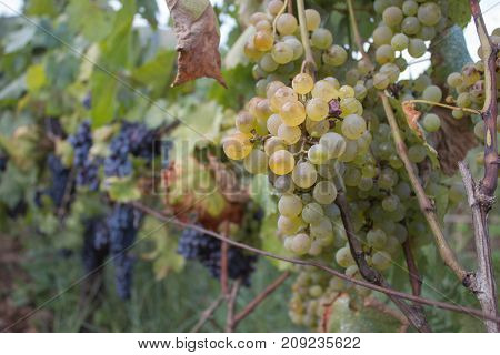 Detail of Handmade grape harvest in Georgian Vineyard. Ripe grapes with green leaves. Nature background with Vineyard. ripe grapes in the vineyard. Wine concept