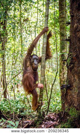 Young Male Of Bornean Orangutan On The Tree In A Natural Habitat. Bornean Orangutan (pongo  Pygmaeus
