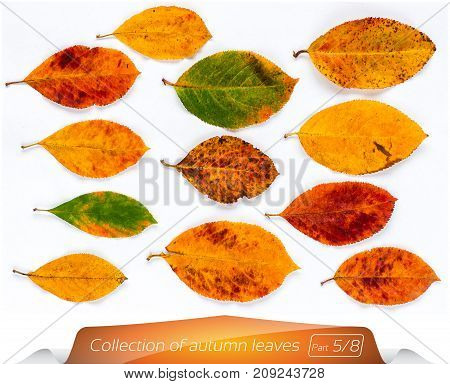 The collection of live yellow brown green leaves at points from the worms. Set of autumn leaves on a white background. Plants on the isolated white background. Autumn foliage from a tree in September.