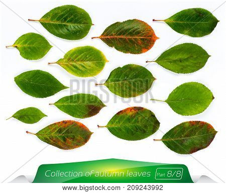 Collection of vivid green bright leaves. Set of summer leaves on a white background. Plants on the isolated white background. Autumn foliage from a tree in August.