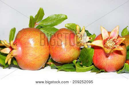 photography with scene of the branch tree with ripe  pomegranate  on light background