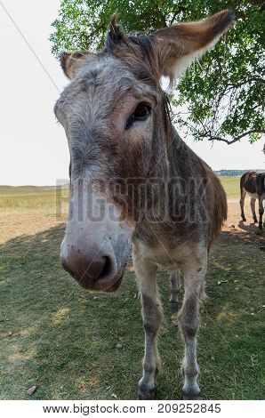 Burro in Custer State Park South Dakota. Known for begging food from tourists.