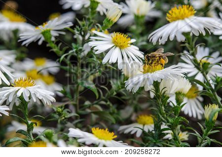 The bee collects the nectar from the field chamomile. Chamomiles flowers bloom in the flowerbed. Camomiles and bee closeup.