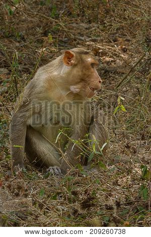 photo of an adult Bonnet macaque sitting in grass
